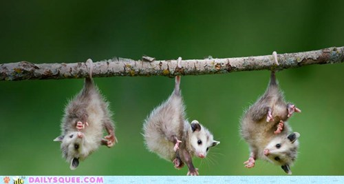 Babies baby dangling Hall of Fame hanging opossum opossums parody possum possums rewrite swing low sweet chariot swinging - 5537386752