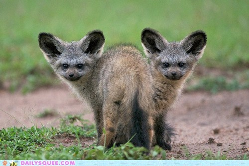 Babies,baby,bat-eared fox,bat-eared foxes,fox,foxes,illusion,kit,kits,mirror,mirrored,siblings,two