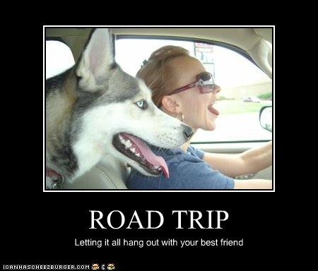 husky,road trip,tongue,tongue out