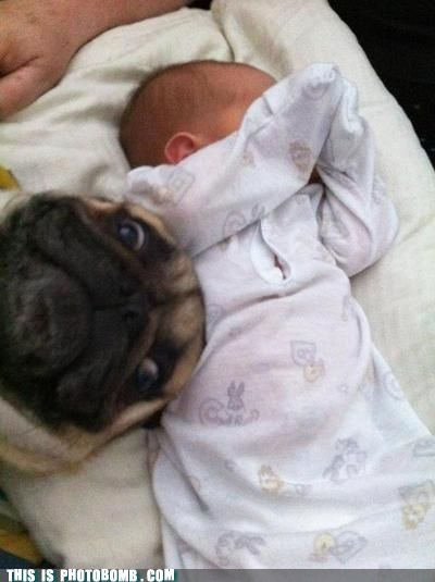 Animal Bomb,baby,best of week,cute,dogs,pikchur,pug