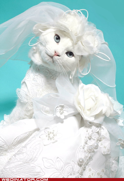 Cats funny wedding photos Hall of Fame kittehs wedding dresses - 5541324032