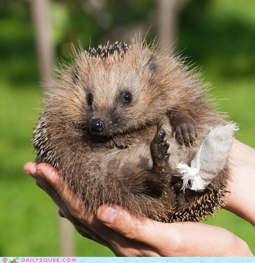 adorable bandage borked cast healing hedgehog injured injury recovering