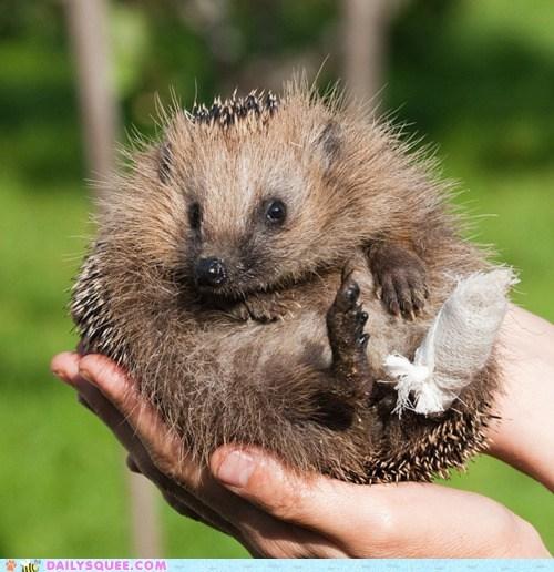adorable borked cast hedgehog injured injury recovering - 5541913088