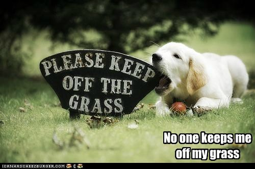 golden retriever,grass,mine,my grass,no,puppy,rule breaker,stay off the grass