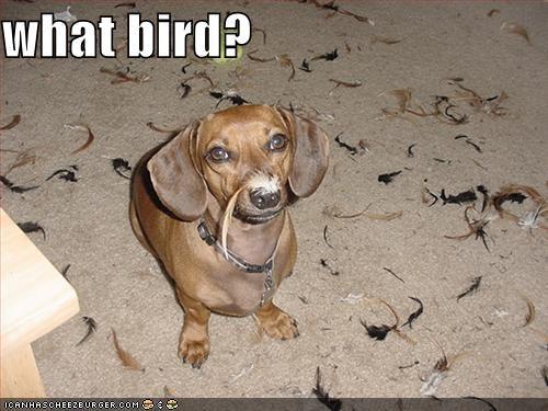 dachshund,feathers