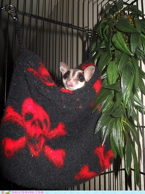 adorable,bed,hypothetical,pattern,Pirate,reader squees,semantics,sleeping,sugar glider,symbol