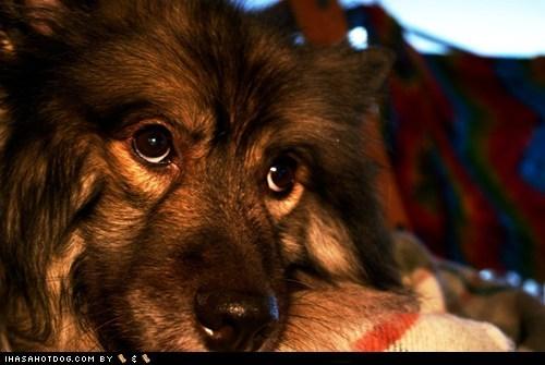 adorbz cute cute face goggie ob teh week keeshond - 5553484544