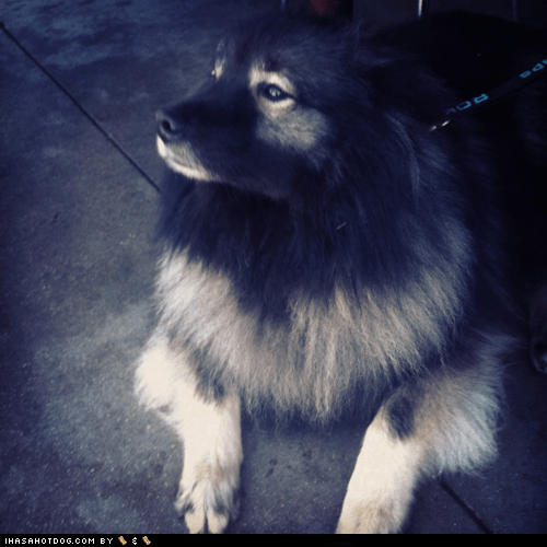 adorable Fluffy fluffy dog goggie ob teh week keeshond - 5553541120