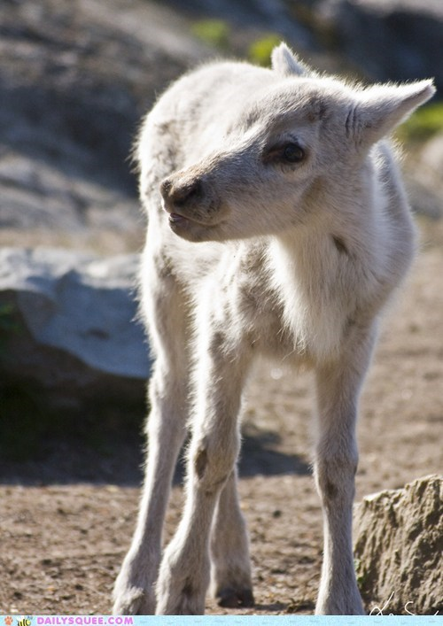 baby calf color fur furry reindeer smiling snowy squee spree white winners