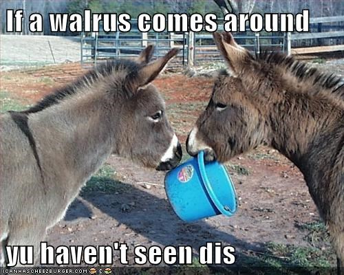 animals,blue bucket,bukkit,donkey,donkeys,walrus