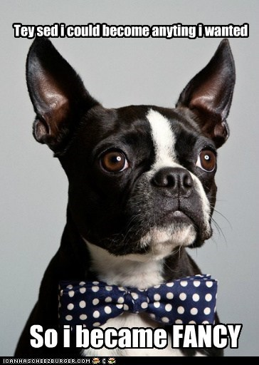 boston terrier bow tie bowtie classy fancy good looking handsome - 5556302336
