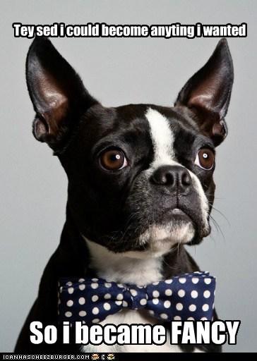 boston terrier bow tie bowtie classy fancy good looking handsome - 5556302336
