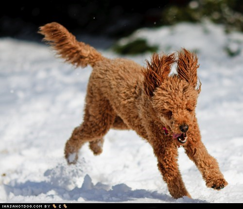 12 dais ob krimmas,12 days of christmas,12 Days of Christmas Dog Version,happy dog,krimmas,playing,poodle,poodle in a pear tree,snow