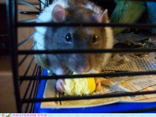 do want egg greedy nomming noms pack rat pun rat rats reader squees reputation selfish
