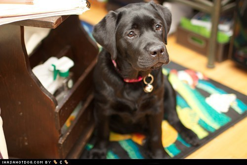 attention,Black Lab,cute face,cyoot puppeh ob teh day,labrador retriever,Precious
