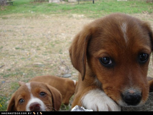 cute face cyoot puppeh ob teh day food hungry noms whatbreed - 5560070400