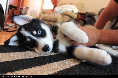 belly rubs cyoot puppeh ob teh day happy dog husky puppy tummy rubs - 5560102400