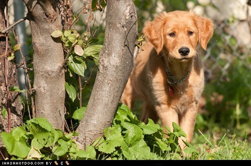 curious,cyoot puppeh of teh day,golden retriever,outdoors,puppy,tree
