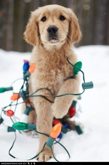 christmas,christmas lights,cyoot puppeh of teh day,golden retriever,mess,oops,puppy,tangled,tangled up