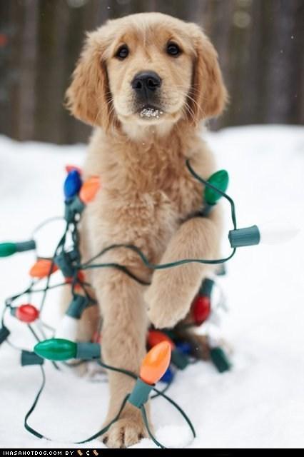 christmas christmas lights golden retriever mess oops puppy - 5560178688