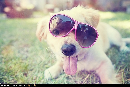 awesome cyoot puppeh ob teh day golden retriever puppy sunglasses tongue tongue out - 5560197120