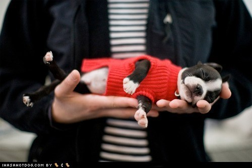 adorbz asleep boston terrier cyoot puppeh ob teh day handheld palm of hand puppy sleeping sleeping in the palm of hand tired - 5560212992