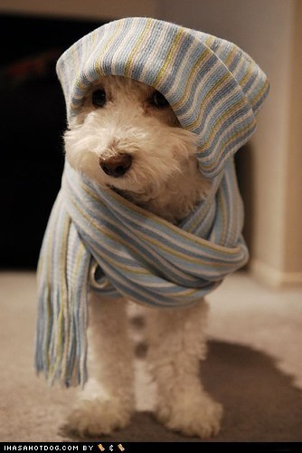 cyoot puppeh ob teh day,scarf,terrier,thats-a-wrap,whatbreed,wrapped up