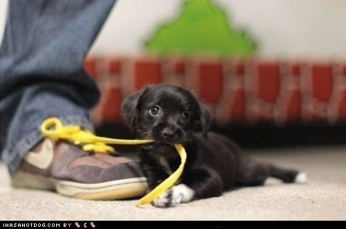 adorbz chewing cyoot puppeh ob teh day mixed breed shoelaces shoes whatbreed - 5560265728