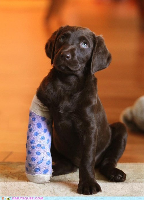 baby borked cast dogs happy labrador leg no1curr puppy unbearably squee - 5560634112