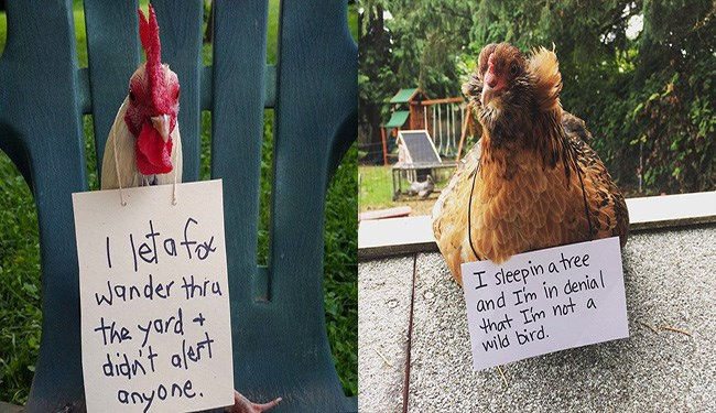 chicken shaming cute lol dog shaming chickens funny - 5561349