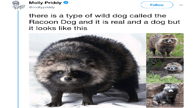 dogs twitter cute Raccoon Dogs tweets raccoons funny raccoons funny - 5561605