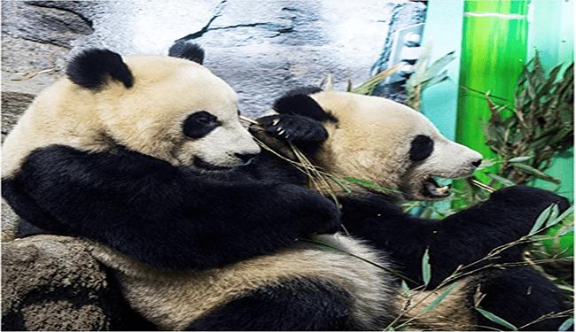 cute panda twitter panda funny panda zoo tweets trending tweets playful funny animals - 5562117