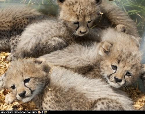 caption contest cheetah cheetahs contest cubs national zoo - 5562906368