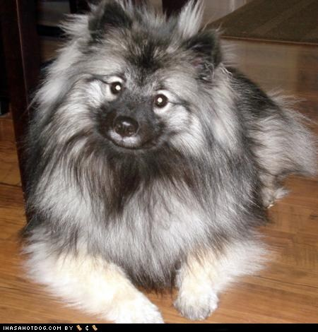 attention Fluffy goggie ob teh week head tilt huh keeshond - 5563301888