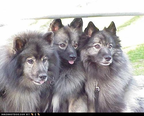 goggie ob teh week happy dogs keeshond picture day tongue tongue out - 5563305472
