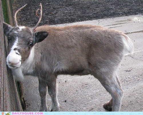 baby,calf,fence,friend,nuzzling,reindeer,squee spree