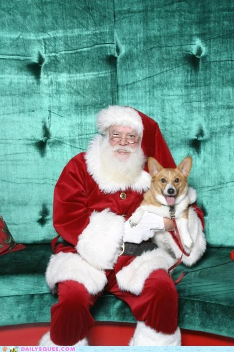 corgi derp derpy dogs happy photograph posing santa santas-little-helper twelve squees of christmas