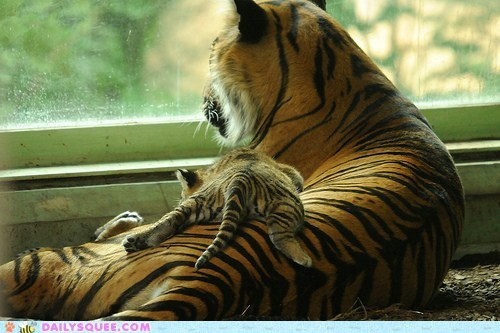 asleep baby back best cub Hall of Fame mom mother napping rest resting seat sleeping tiger tigers