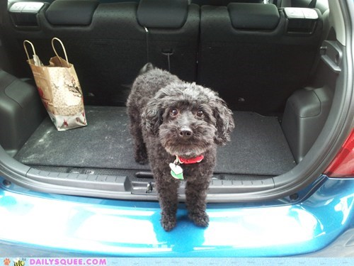 beach,car,do want,dogs,photo op,poodle,puppy,reader squees,riding,trip