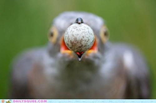 acting like animals bird denial egg ignorance stealing theft thief - 5570220544
