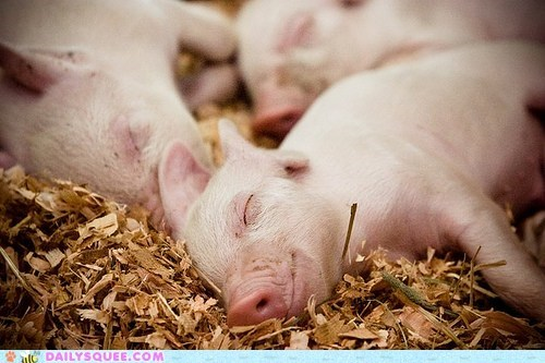 adorable asleep pig piglet piglets serene sleeping - 5570409472