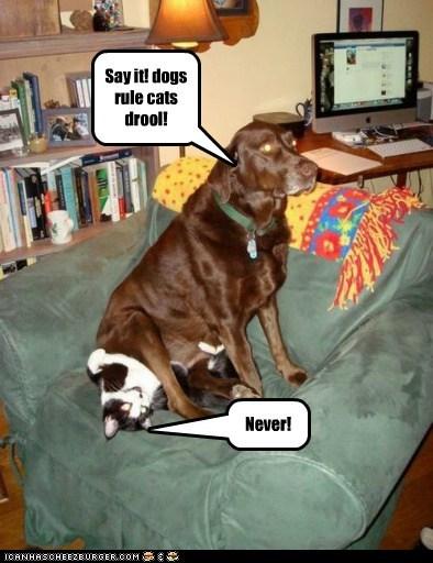 bully cat labrador retriever - 5572056576