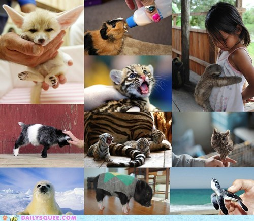 Babies,baby,battle royale,contest,fennec fox,goat,guinea pig,harp seal,ocelot,Owl,pig,poll,sea turtle,sloth,squee spree,tiger