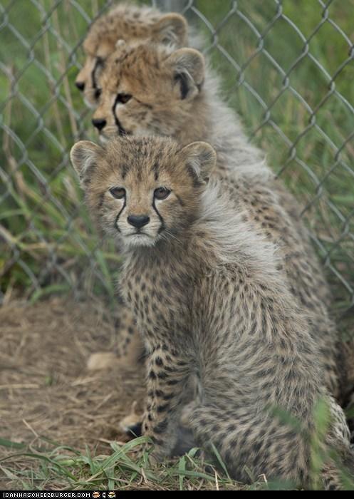 caption contest cheetah cheetahs contest national zoo - 5574396672