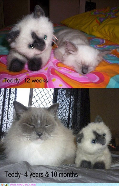 adult,aging,baby,cat,comparison,difference,growing up,kitten,measure,now,progress,reader squees,size,stuffed animal,then,time