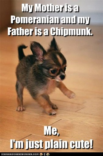 adorable adorbz awww chihuahua puppy - 5580655360