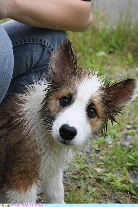 baby dogs drying off encounter experience first time hose icelandic sheepdog nozzle puppy reader squees soaked towel warming up water wet - 5580655616