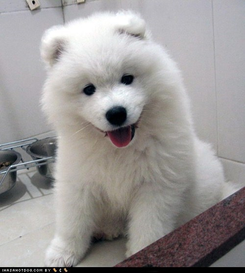 cute face happy dog puppy samoyed sweet face tongue tongue out - 5585789952