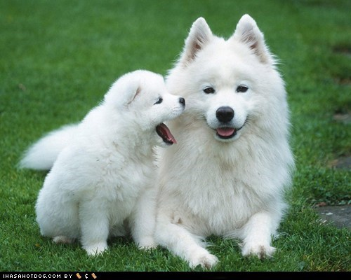 adorable cute mom parent puppy samoyed