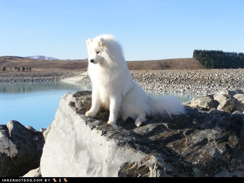 adorable Fluffy goggie ob teh week outdoors overlook oversee samoyed - 5585797888